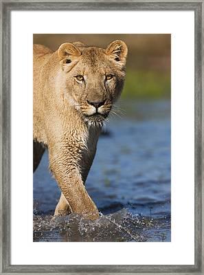 African Lioness Sirga Wading Kalahari Framed Print by Theo Allofs