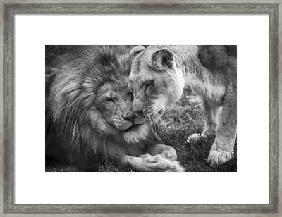 African Lions In Love Framed Print by Ellie Teramoto