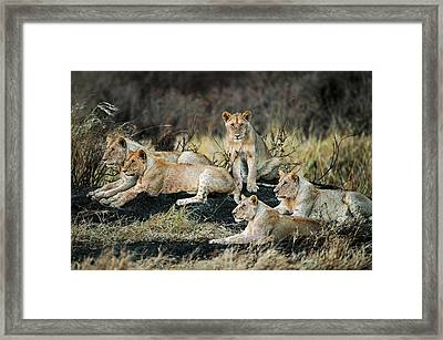 African Lions Panthera Leo In Forest Framed Print by Panoramic Images