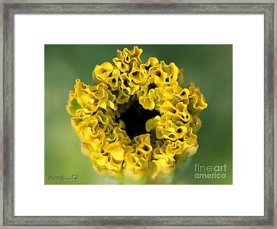 African Marigold Named Crackerjack Gold Framed Print by J McCombie
