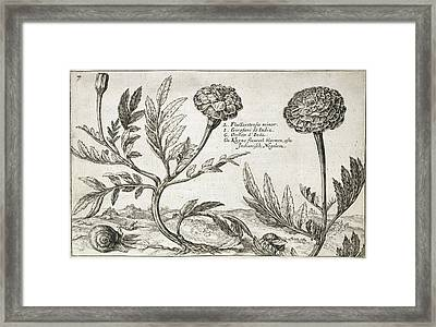 African Marigolds (tagetes Erecta) Framed Print by Natural History Museum, London