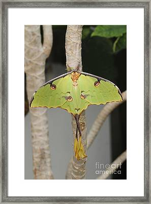African Moon Moth Framed Print