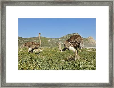 African Ostriches Foraging Next To Beach Framed Print by Sami Sarkis