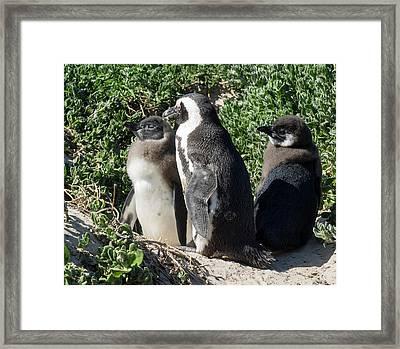African Penguin Spheniscus Demersus Framed Print