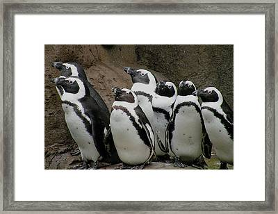 African Penguins Framed Print by Brian Chase
