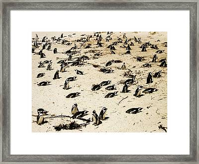 African Penguins Framed Print by Oliver Johnston