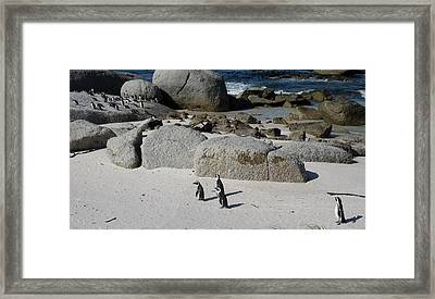 African Penguins Spheniscus Demersus Framed Print