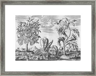 African Plants, 17th Century Framed Print by Science Photo Library