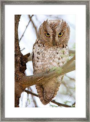 African Scops Owl Otus Senegalensis Framed Print