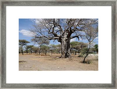 African Series 3000 Year Old Tree Framed Print by Katherine Green
