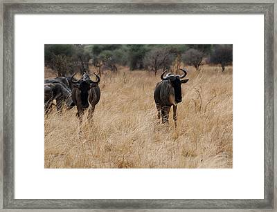 African Series Widerbeest Framed Print by Katherine Green