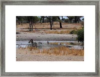 African Series Zebras And Pelican Framed Print by Katherine Green