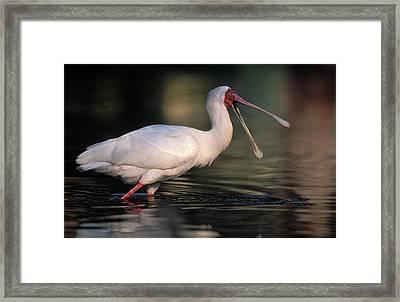 African Spoonbill Framed Print by Nigel Dennis