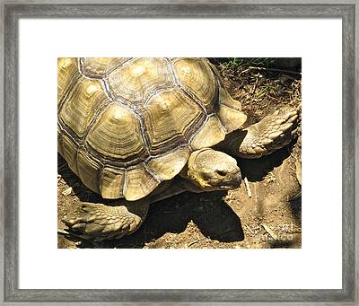 African Spurred Tortoise Framed Print by CML Brown