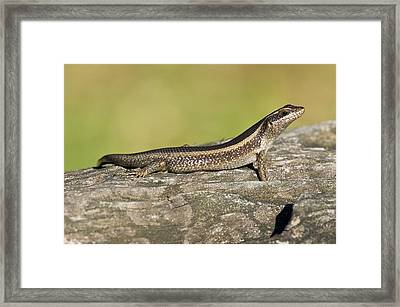 African Striped Skink On A Rock Framed Print by Science Photo Library