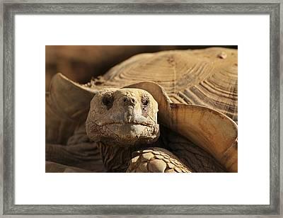 African Tortoise Framed Print