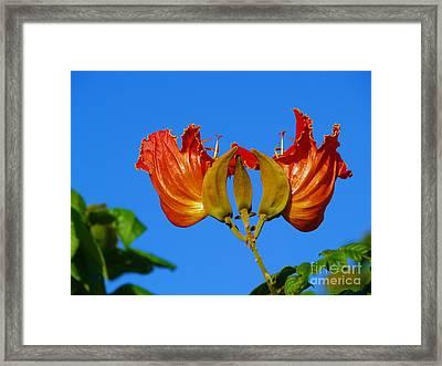 African Tulip Framed Print by Samuel James