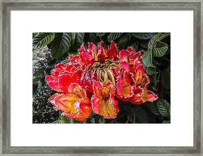 African Tulip Tree Flowers Framed Print by Photographic Art by Russel Ray Photos