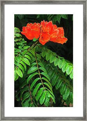 African Tulip Tree Framed Print by Nigel Downer
