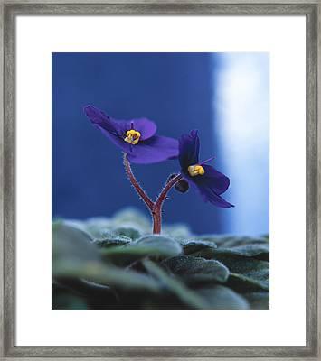 African Violet Framed Print