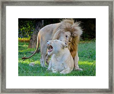 African White Lions Framed Print by Venetia Featherstone-Witty