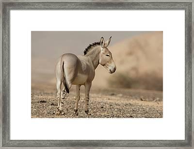 African Wild Ass (equus Africanus) Framed Print