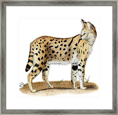 African Wild Cat Framed Print by Roger Hall