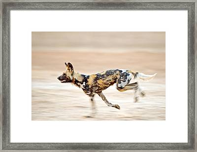 African Wild Dog Framed Print by Science Photo Library