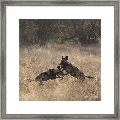 Framed Print featuring the photograph African Wild Dogs Play-fighting by Liz Leyden