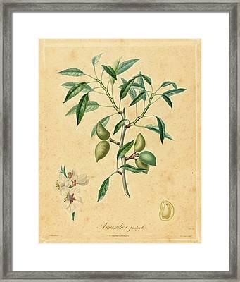 After A. Poiteau, Amandier Pistache, Color Stipple Etching Framed Print by Quint Lox