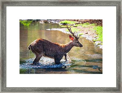 After Bathing. Male Deer In The Pampelmousse Botanical Garden. Mauritius Framed Print