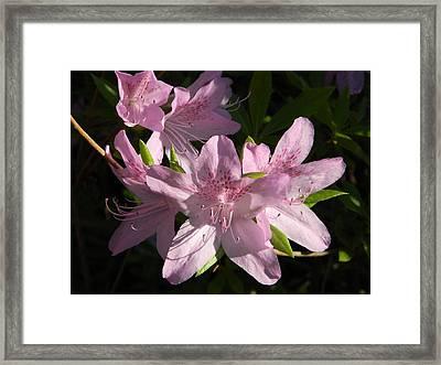 Afternoon Azaleas Framed Print by Nancy Spirakus