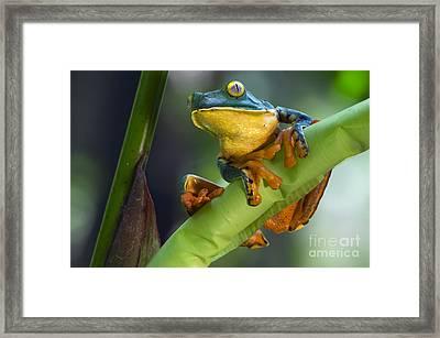Agalychnis Calcarifer 4 Framed Print