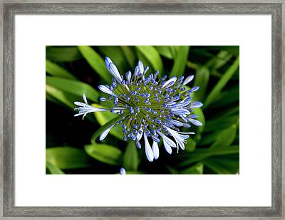 Agapanthus (african Lily) Framed Print by Mark Williamson
