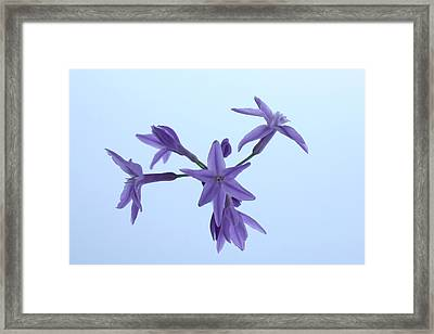 Agapanthus Blossoms Framed Print