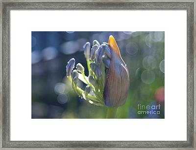 Agapanthus Coming To Life Framed Print