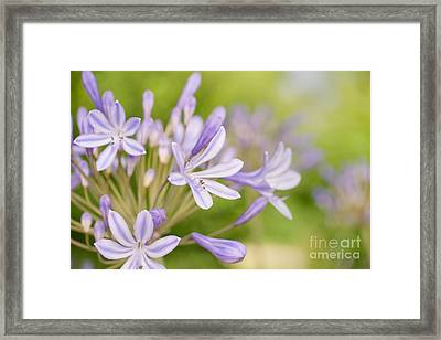 Agapanthus Framed Print by Delphimages Photo Creations