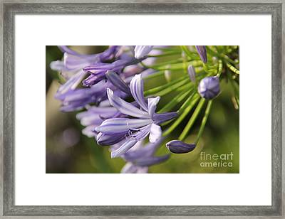 Agapanthus Flower Close-up Framed Print by Jackie Mestrom