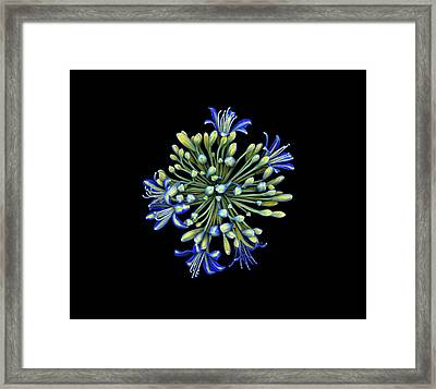 Agapanthus Flower Framed Print by Dan Sykes/natural History Museum, London