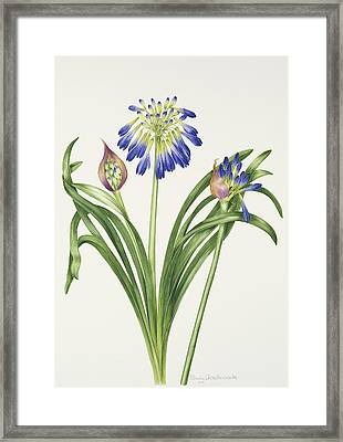Agapanthus Inapertus Framed Print by Sally Crosthwaite