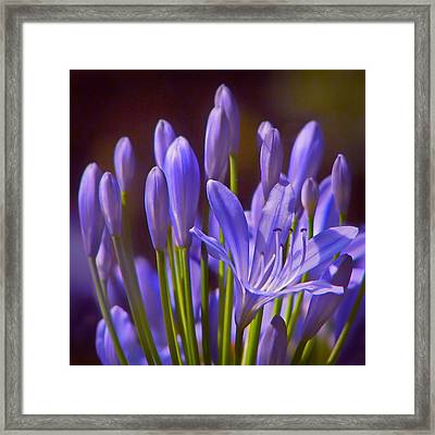 Agapanthus - Lily Of The Nile - African Lily Framed Print