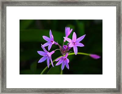 Framed Print featuring the photograph Agapanthus by Richard Stephen
