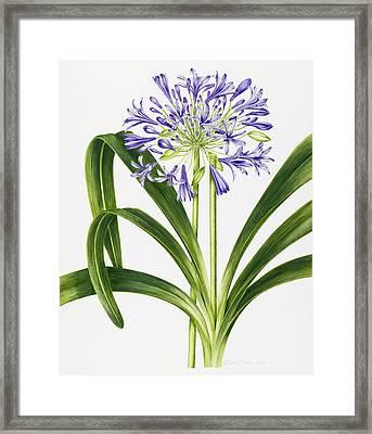 Agapanthus Framed Print by Sally Crosthwaite