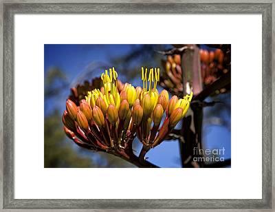 Agave Blooms Framed Print