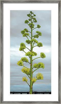 Agave Flower Spike Framed Print by Ben and Raisa Gertsberg