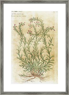 Ageratum Seventeenth-century Engraving Framed Print by Prisma Archivo