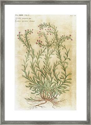 Ageratum Seventeenth-century Engraving Framed Print