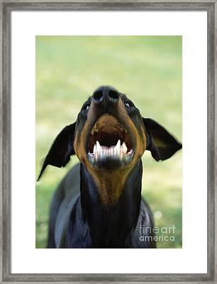 Aggressive Doberman Framed Print by John Daniels