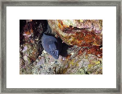 Agressive Attitude Of Moray-eel Muraena Helena In Its Hole Framed Print by Sami Sarkis