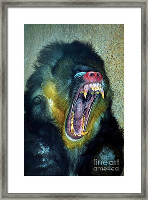 Agressive Mandrill Framed Print by Thomas Woolworth
